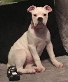 7 month dorset olde tyme bulldog