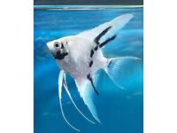 Angel fish x 2