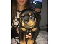 Rottweiler male 7 week old wormed and micro chipped
