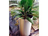 Fan palm in large tall aluminium cylinder so won't rust adds a lovely tropical look all year round.