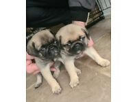 2 Female Pug puppies