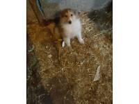 Lassie pups