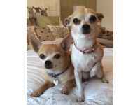 Pet sitter wanted for 2 adorable chihuahuas over Chistmas, my home or yours