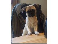 Pug cross female 7 months old