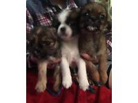 Chihuahua x Shihtzu puppies (price reduced)