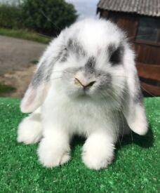 Beautiful baby mini lop rabbit for sale