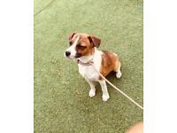 Jack Russel Cross lakeland terrier