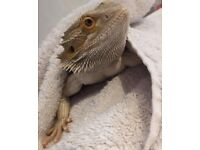 Bearded dragon with complete setup