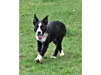20 week old border collie male puppy .