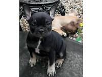 French Bull puppy bitch for sale