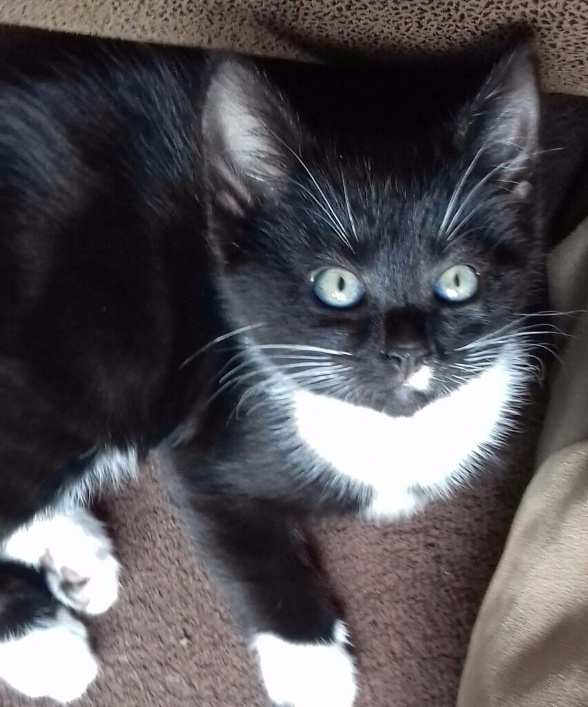 Black and White Kittens for sale in Dartford Kent