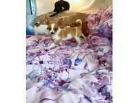 Beautiful Dachshund X jack puppies