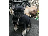 For sale French bulldog puppys kc reg