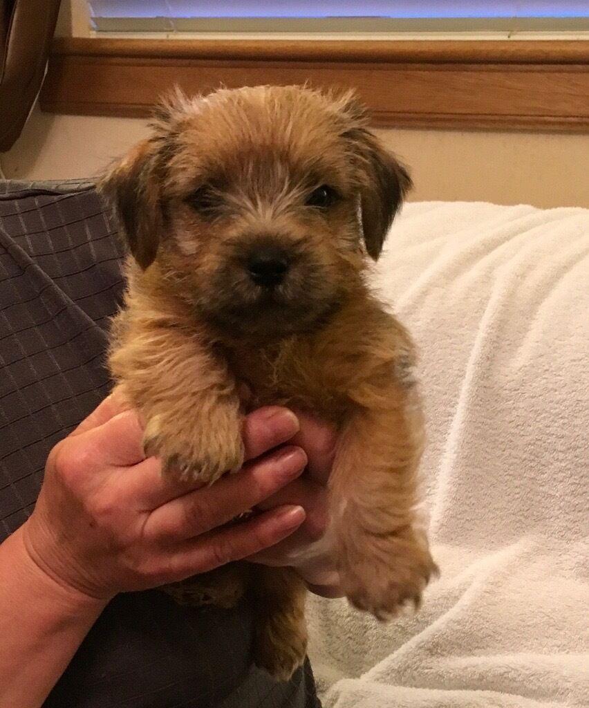 Norfolk Terrier Dogs For Sale