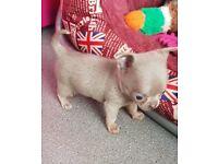 Chihuahua Smooth Coat Puppies 1 girl 1 boy Lilac and Tan