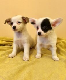 Chihuahua X Terrier Boys Ready Now