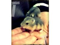 Beautiful Baby Dwarf Hamsters - Only four left! Must go