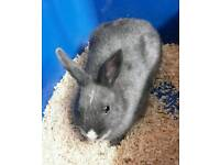 Blue 6 Months Old Male Rabbit