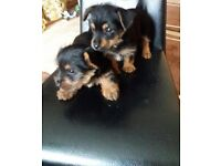 Full breed miniature yorkshire terrier puppies