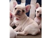 Cream french bulldog puppys for sale