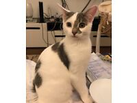 Special lovable playful grey and white boy kitten