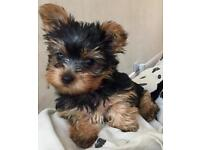 Miniature Yorkshire girl puppy (1 available)