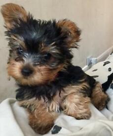 Miniature Yorkshire terrier puppies.