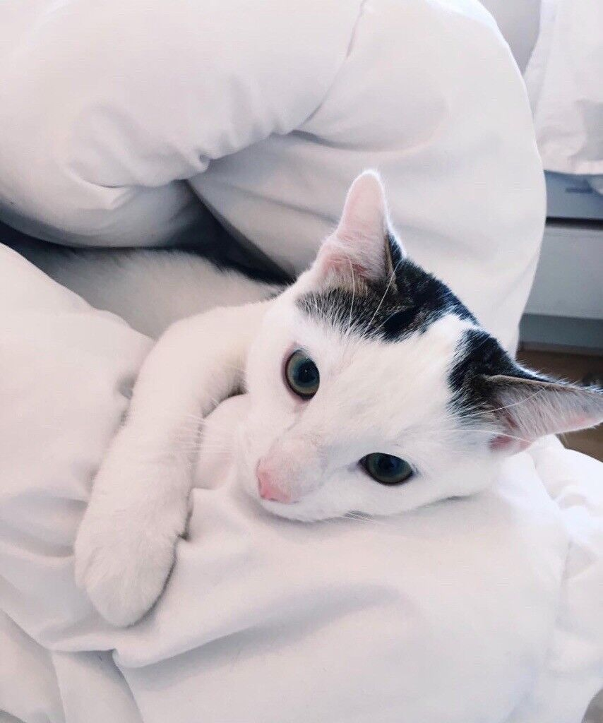 cute fluffy 3 year old short haired tabby cat kitten black and white