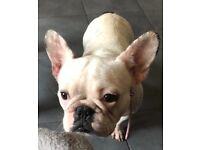 Beautiful French Bulldog Female For Sale