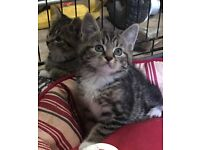 2 PRETTY PLAYFUL MALE KITTENS FOR SALE