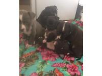 Staffy puppies ready to go 16th June