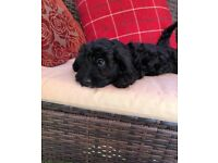 Gorgeous F1 Cockapoo Puppies