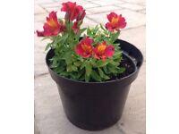 Little Miss Gina Rare Dwarf Alstroemeria Perennial Plant