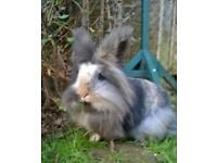 Three adult (approximately 2/3 years old) Lion head female rabbits.