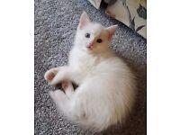 White half persion kitten