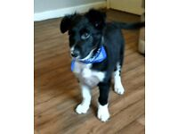 Border collie puppie 13 week