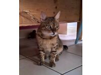 Friendly male spotted Bengal, age 9yrs, free to good home