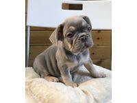 Lilac and tan French Bulldog boy