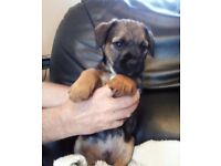 CUTE BORDER TERRIER PUPPIES