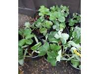 Strawberry Plants (Flemenco)