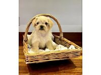 2 Cream Male Pug X Poodle Puppies Available