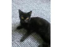 Black kitten 3 months old