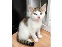 Beautiful Cross Breed Maine Coon Kitten For Sale