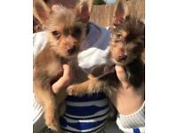 Two Yorkshire Terrier x Chihuahua Puppies For Sale