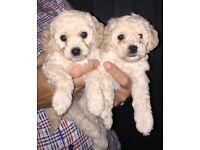 Beautiful Cavapoochon Puppies for Sale