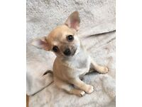 Adorable, pedigree, chihuahua puppies seeking forever families