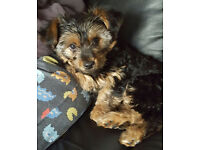 Beautiful female yorkshire terrier puppy