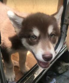 Shepsky Puppies for sale