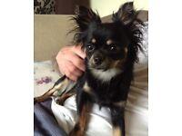 Adorable Chihuahua boy