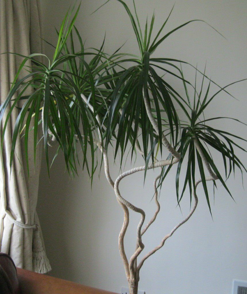 Large house plants in hoghton lancashire gumtree - Tall house plants ...
